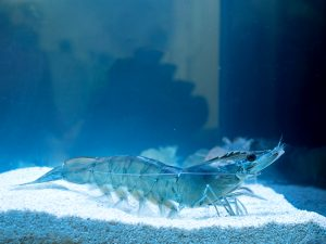 Vannamei shrimp, whiteleg shrimp, Pacific white shrimp or king prawn swimming in the aquarium tank. Close-up.